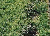 Ameri-Turf Grass