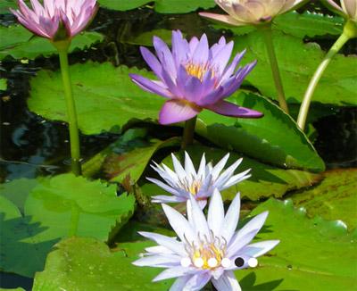 Sunland Water Garderns Lillies